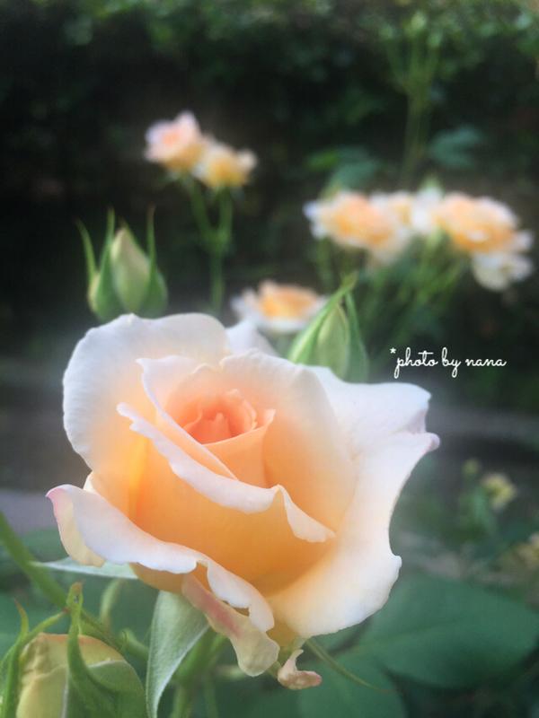 バラ。花。写真。